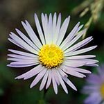 Aster Flower Meaning