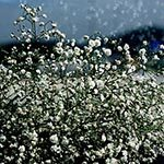 Baby's Breath Flower Meaning