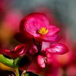 Begonia Flower Meaning