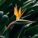 Bird of Paradise Flower Meaning