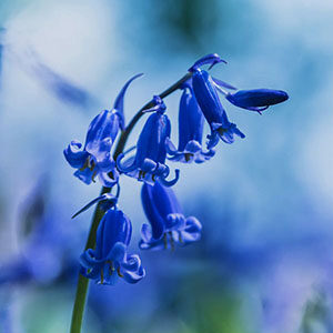 Bluebell Flower Meaning in the Language of Flowers Humility