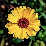 Calendula Flower Meaning