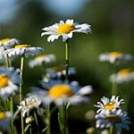 Chamomile Flower Meaning