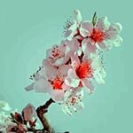 Cherry Blossom Flower Meaning