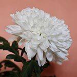 Chrysanthemum Flower Meaning