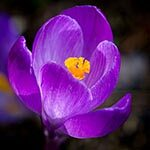 Crocus Flower Meaning
