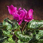 Cyclamen Flower Meaning