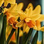Daffodil Flower Meaning