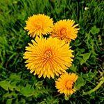 Dandelion Flower Meaning