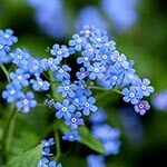 Forget-Me-Not Flower Meaning