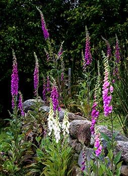 Foxglove Garden Flowers