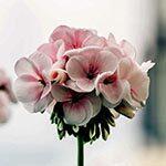 Geranium Flower Meaning