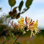 Honeysuckle Flower Meaning