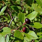 Huckleberry Meaning