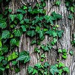 Ivy Flower Meaning