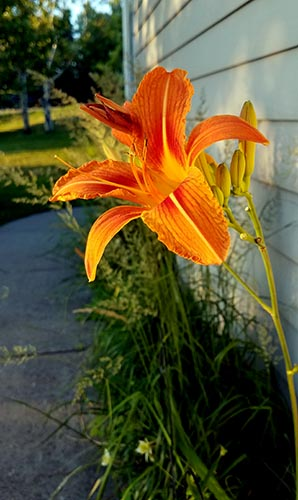 Lily Flower Meaning