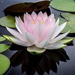 Lotus Flower Meaning
