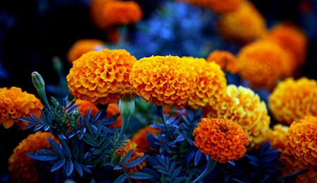 Marigold Meaning in Astrology