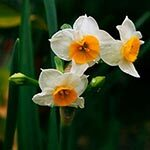 Narcissus Flower Meaning