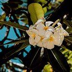 Orange Blossom Flower Meaning