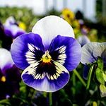 Pansy Flower Meaning