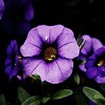 Petunia Flower Meaning