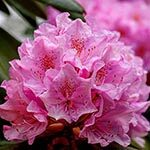 Rhododendron Flower Meaning