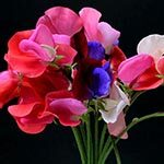 Sweet Peas Meaning
