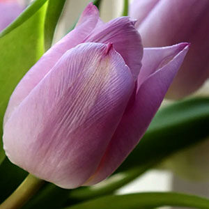 Tulip Flower Meaning Love in the Language of Flowers
