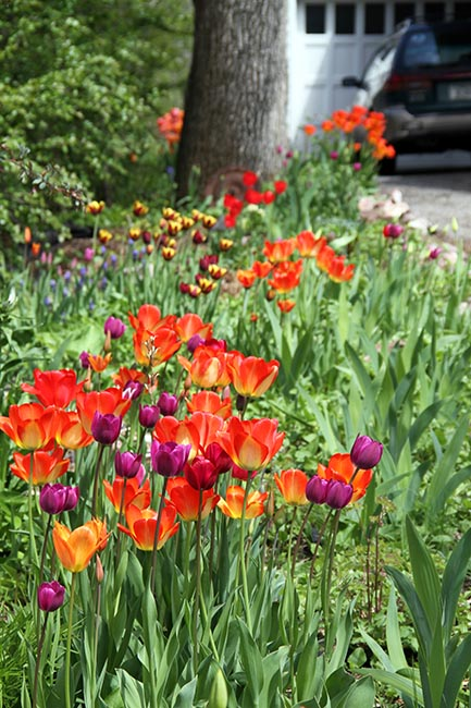 Tulips Flower Meaning Variegated