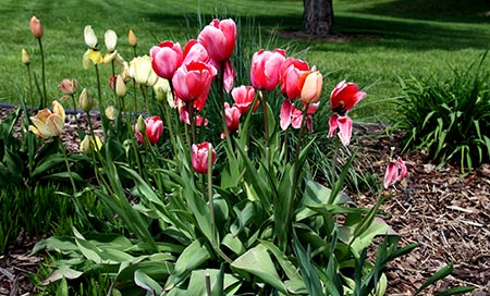 Tulip Meaning Pink Flowers