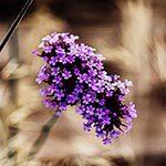Verbena Flower Meaning