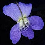 Violet Flower Meaning