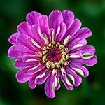 Zinnia Flower Meaning