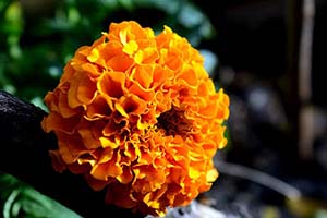 Marigold Flower Meaning
